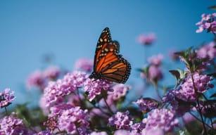 Monarch butterfly sitting on milkweed flower